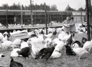 Turkey production at Loughry
