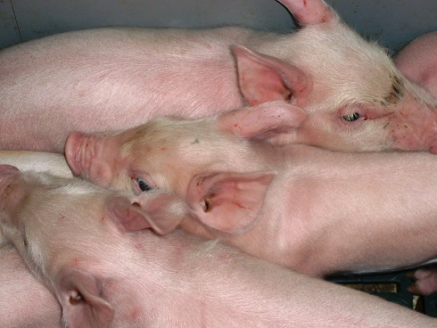 Three pigs together