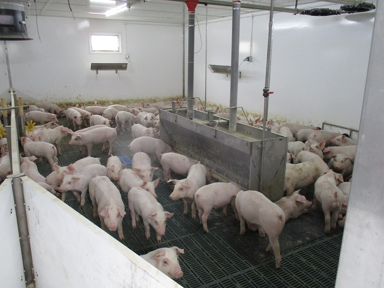 A drift of pigs in a shower room being washed