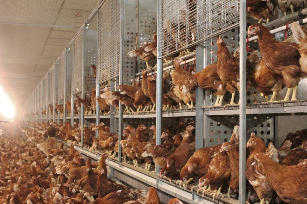A large group of chickens in a penn