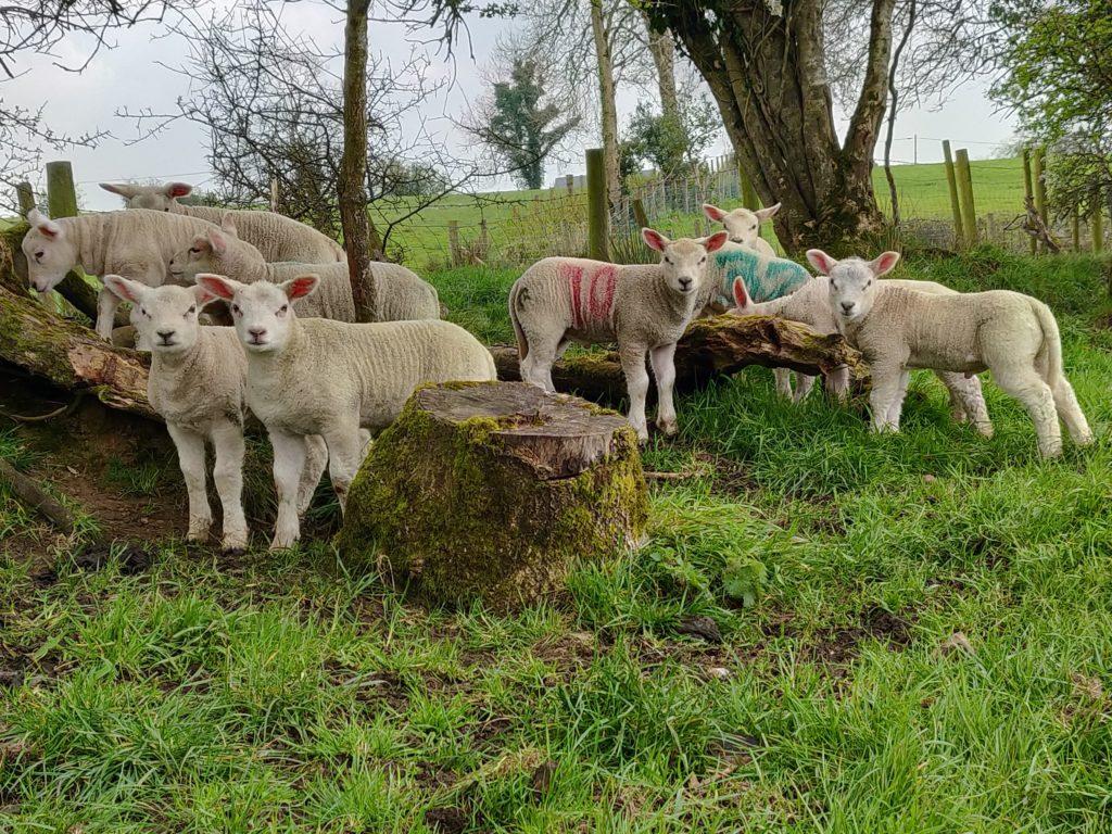 lambs-in-field