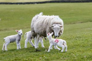 sheep-with-three-lambs-in-field