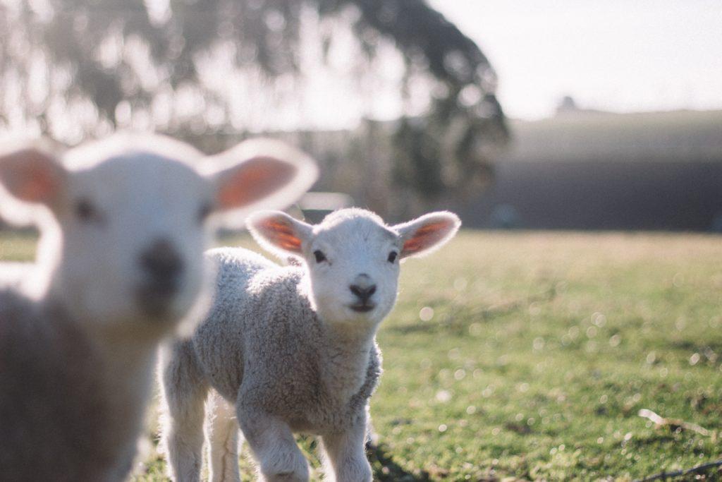 spring-lambs-in-the-sun