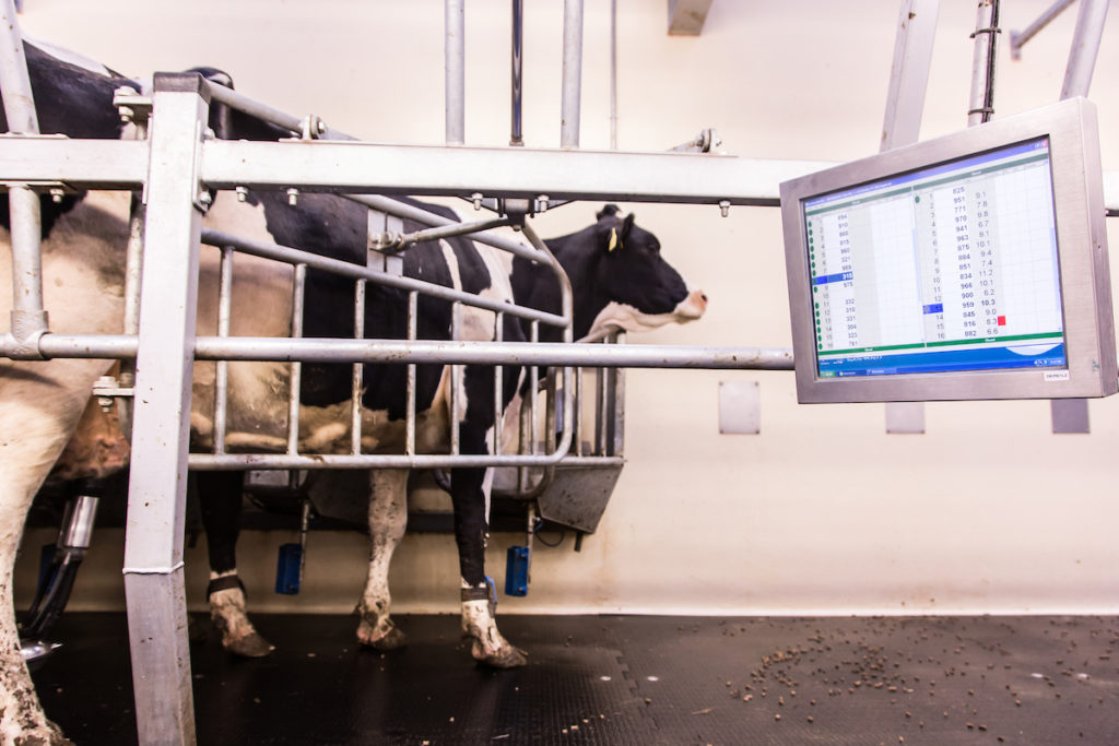 Dairy cow going through the Cafre Dairy Herd
