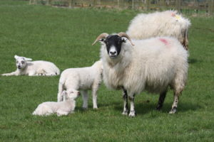 Two sheep and three lambs in a field.
