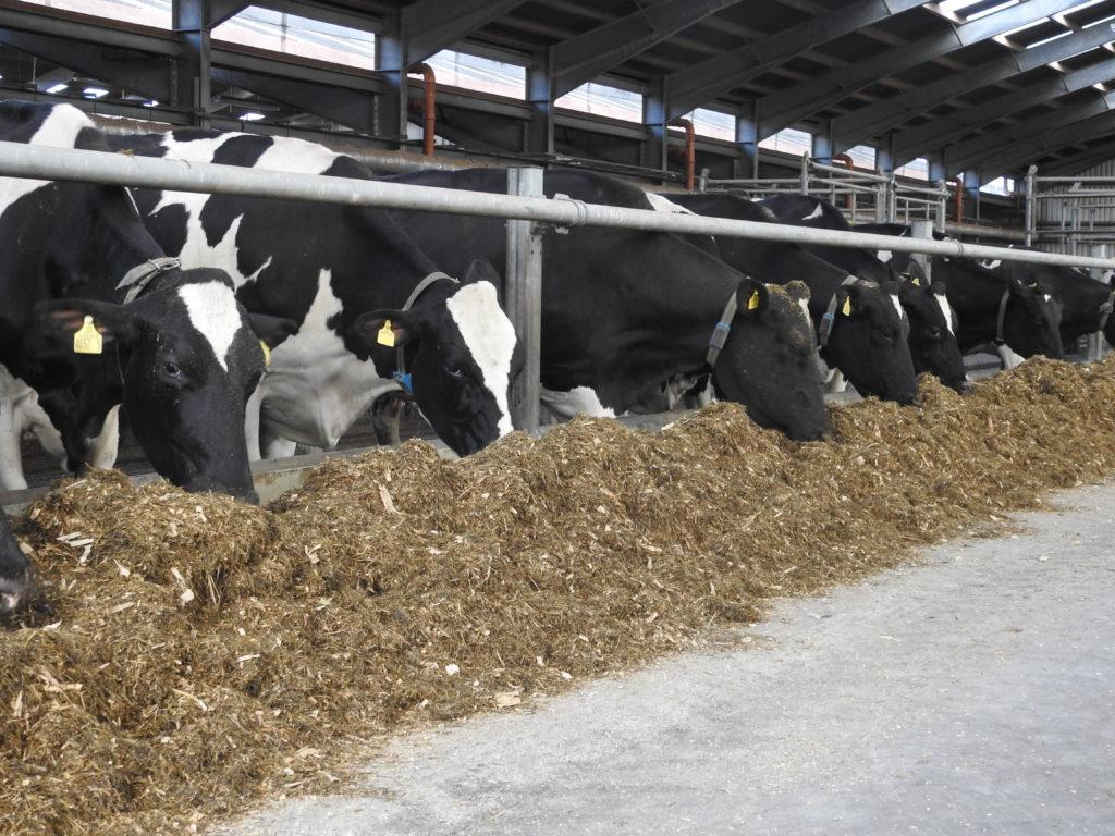 CAFRE Dairy Herd