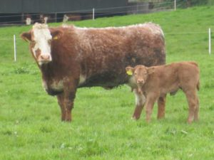 beef cow and calf in field