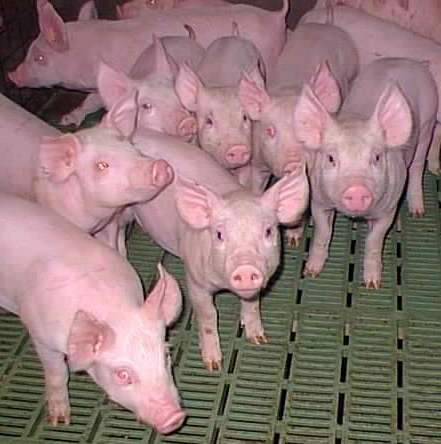 weaner-pigs