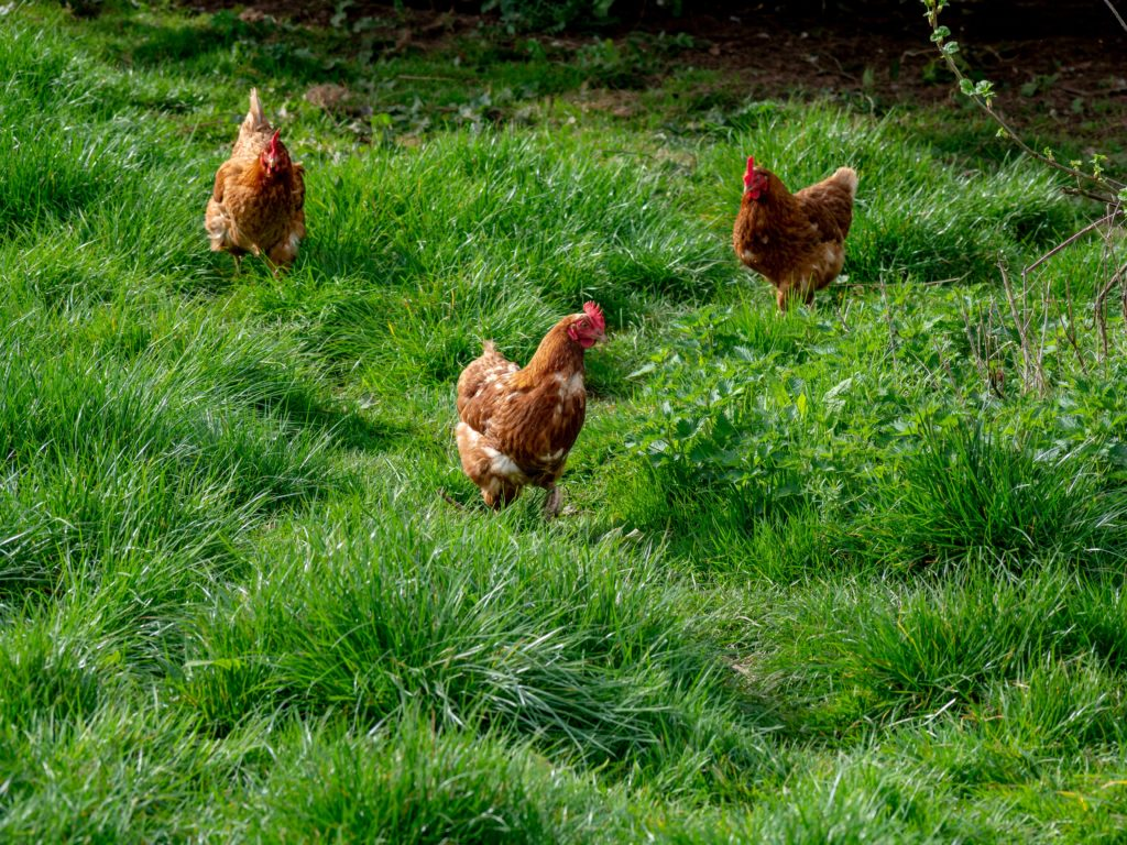three chickens in a field