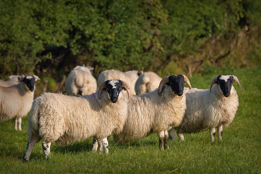store lambs in a field