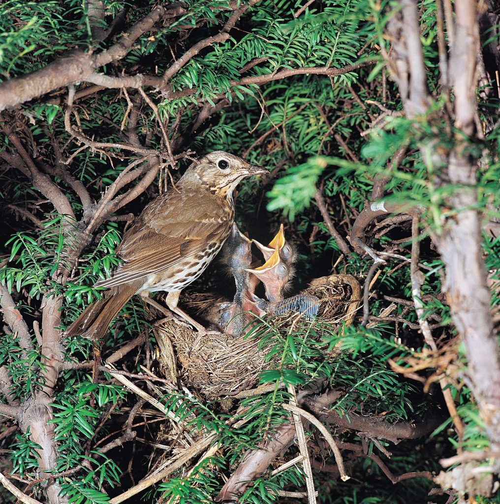 Song Thrush nest in trees and shrubs in hedgerows from March to August, with each brood taking approximately two weeks to hatch, a further two weeks to fledge plus another 3 weeks of parental feeding.