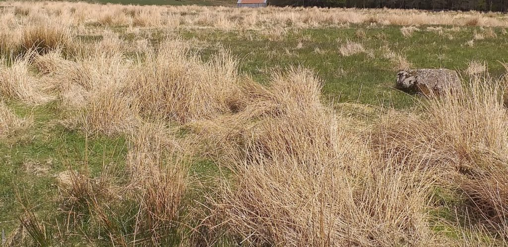 Figure 3: Rush after being weed wiped with Glyphosate at the CAFRE Hill Farm