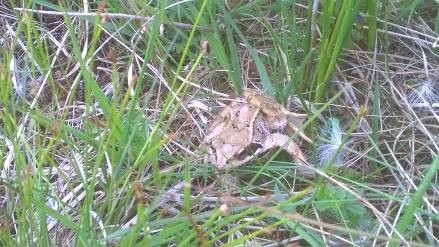Common Frog, the only species of frog found in Ireland and listed as an internationally important species. It is classed as vulnerable in the rest of Europe.