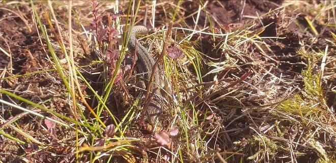 Common Lizard (Ireland's only reptile) in blanket bog